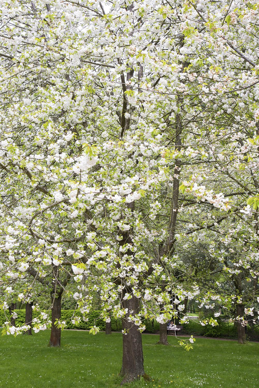 Blossom - Paris - 6225